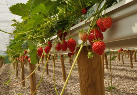 Production de fraises de la Ferme de Gally